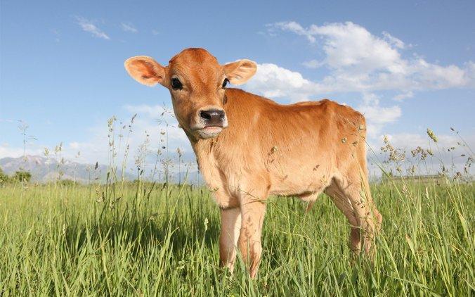 cute-cow-FTR
